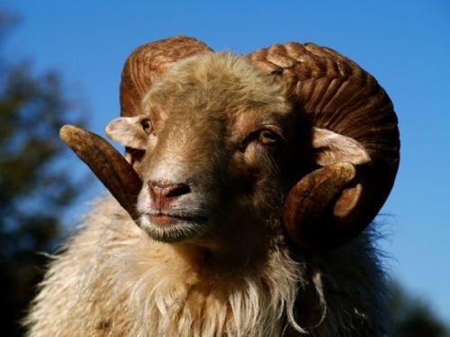 Ovce na ekofarmě